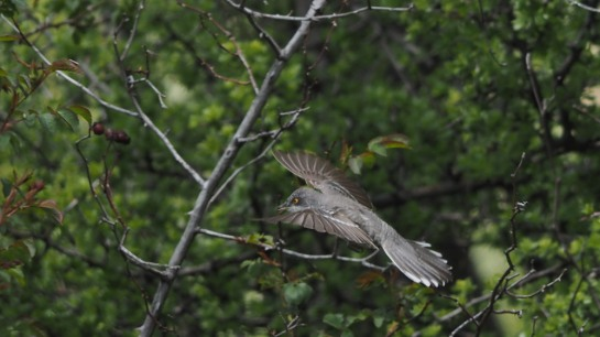 Barred Warbler a3