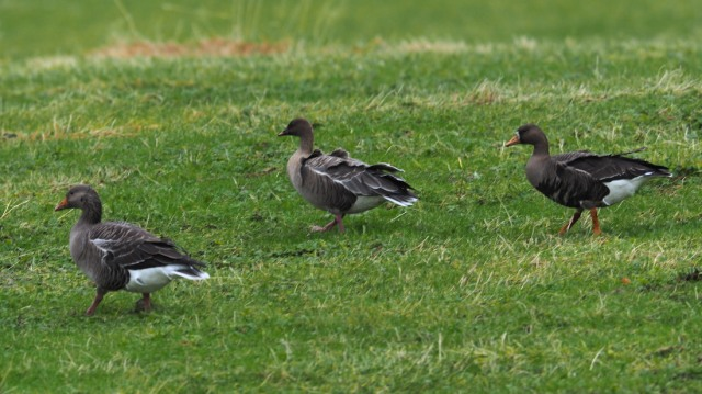 Greenland Greater White-fronted Goose