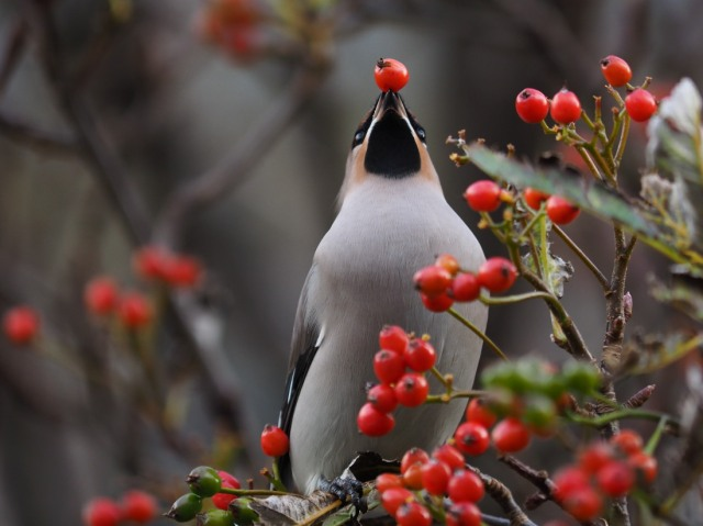 Waxwing in my garden